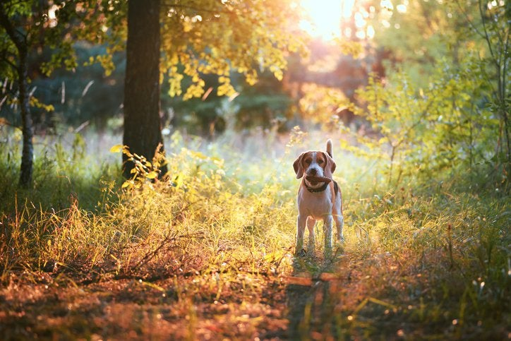 A beagle holding a stick in its mouth and standing in a sunny forest.
