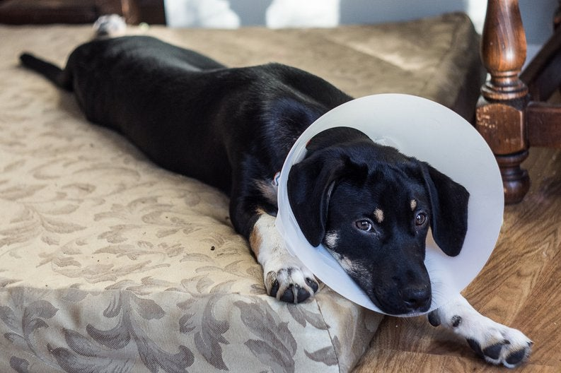 A sad dog lying on a bed and wearing a cone.