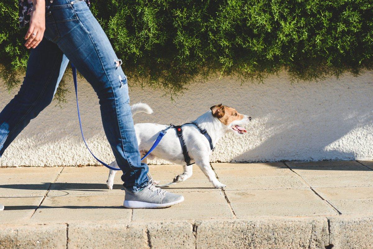 A dog walker with a small dog on a leash strolling down a sunny sidewalk.