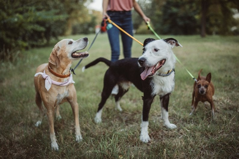 A dog walker with three dogs on leashes in a park.
