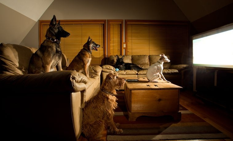Five dogs sitting on couches and watching TV.