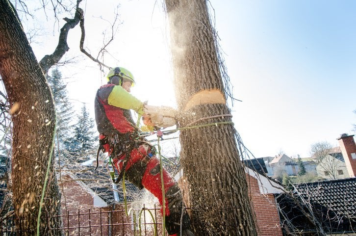 A man roped to a tree and cutting it down with a chainsaw with houses in the background.