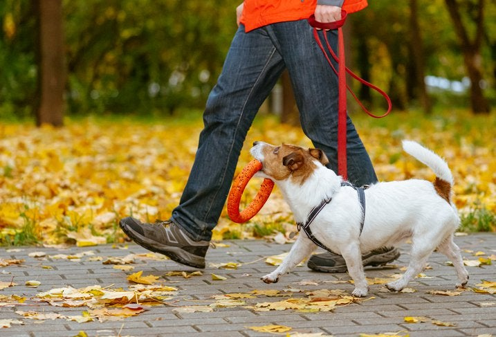 A man walking a small dog on a leash with a toy in its mouth through a park filled with fall leaves on the ground.