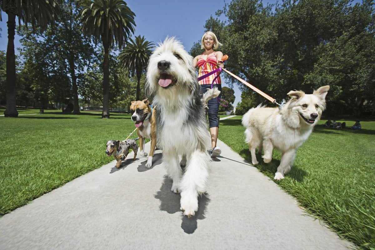 A woman walks a bunch of dogs.