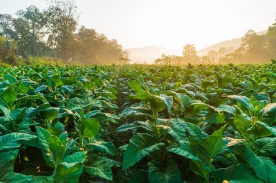 A field of green tobacco plants.